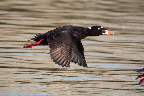 Surf Scoter Picture @ Kiwifoto.com