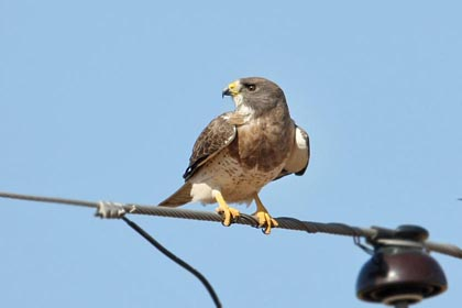 Swainson's Hawk Photo @ Kiwifoto.com