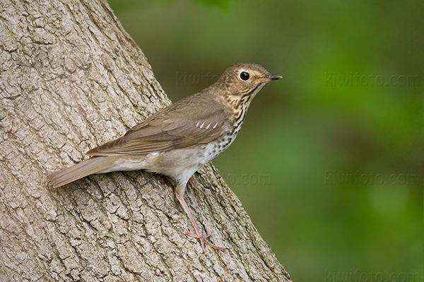 Swainson's Thrush Photo @ Kiwifoto.com