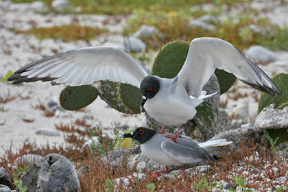 Swallow-tailed Gull Picture @ Kiwifoto.com