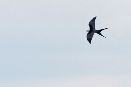 Swallow-tailed Kite Photo @ Kiwifoto.com