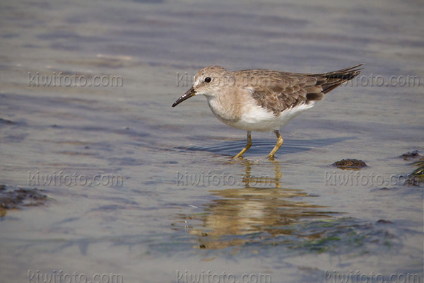 Temminck's Stint Photo @ Kiwifoto.com