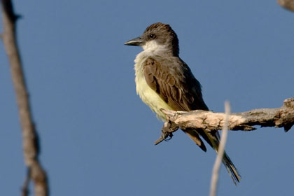 Thick-billed Kingbird Image @ Kiwifoto.com