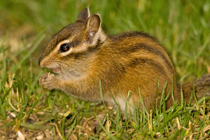 Townsend's Chipmunk Photo