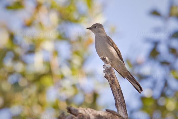 Townsend's Solitaire Photo @ Kiwifoto.com