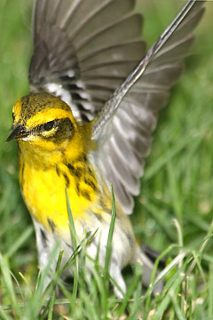 Townsend's Warbler Picture @ Kiwifoto.com