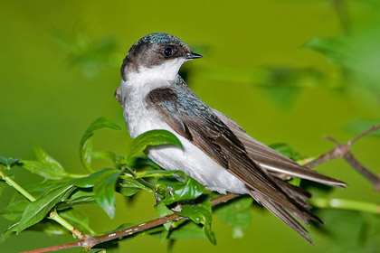 Tree Swallow Image @ Kiwifoto.com