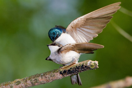 Tree Swallow (Copulation)
