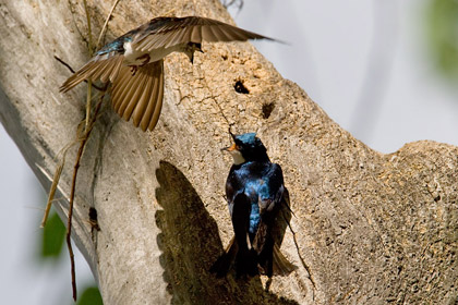 Tree Swallow Photo @ Kiwifoto.com