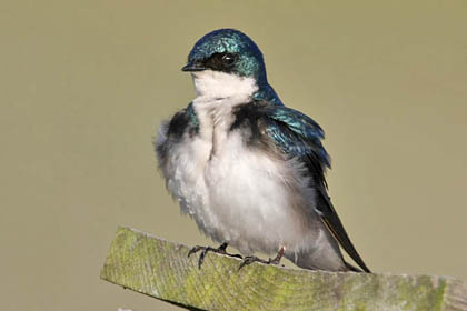 Tree Swallow Picture @ Kiwifoto.com