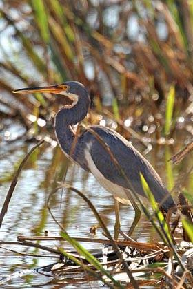 Tricolored Heron Photo @ Kiwifoto.com