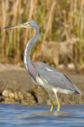 Tricolored Heron Picture @ Kiwifoto.com