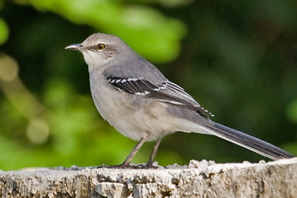 Tropical Mockingbird Photo @ Kiwifoto.com