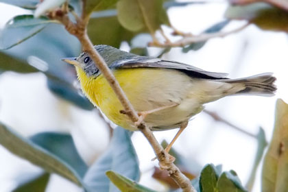 Tropical Parula Photo @ Kiwifoto.com