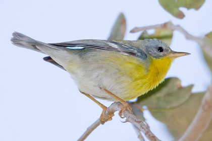 Tropical Parula Picture @ Kiwifoto.com
