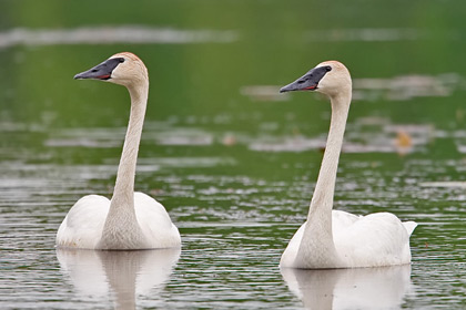 Trumpeter Swan Picture @ Kiwifoto.com