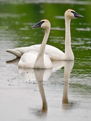 trumpeter swan. Trumpeter Swan Picture