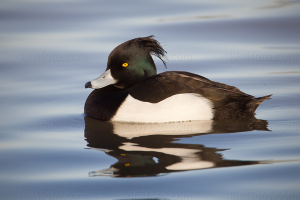 Tufted Duck Image @ Kiwifoto.com