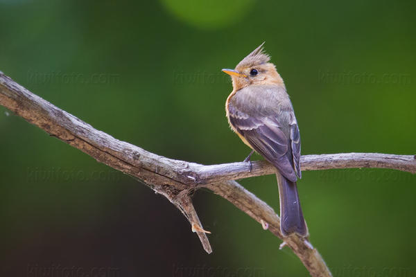 Tufted Flycatcher Picture @ Kiwifoto.com