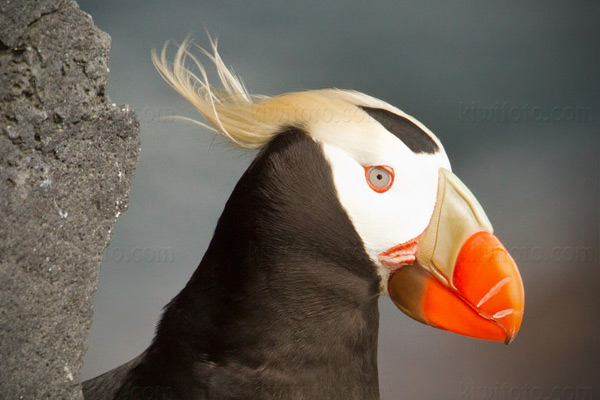 Tufted Puffin Picture @ Kiwifoto.com