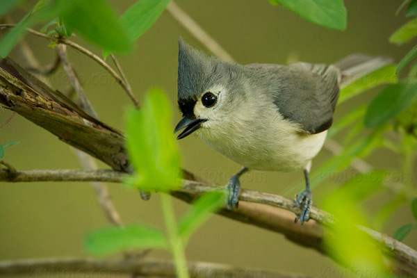 Tufted Titmouse Picture @ Kiwifoto.com