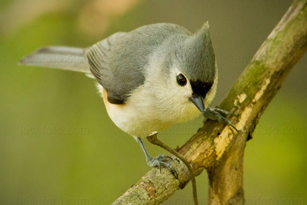 Tufted Titmouse Photo @ Kiwifoto.com
