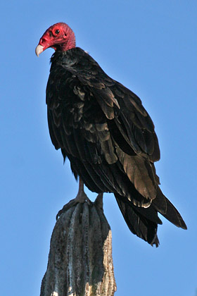 Turkey Vulture Photo @ Kiwifoto.com