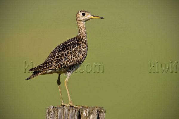 Upland Sandpiper Photo @ Kiwifoto.com