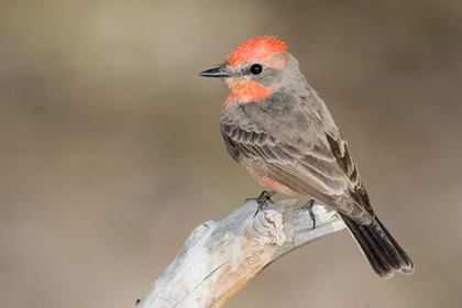 Vermilion Flycatcher (1st year male)