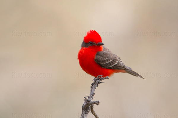 Vermilion Flycatcher Photo @ Kiwifoto.com