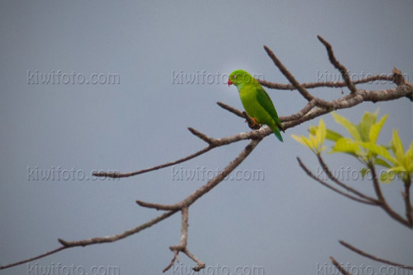Vernal Hanging-parrot Photo @ Kiwifoto.com