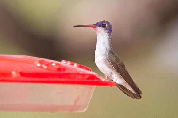 Violet-crowned Hummingbird @ Ash Canyon, AZ