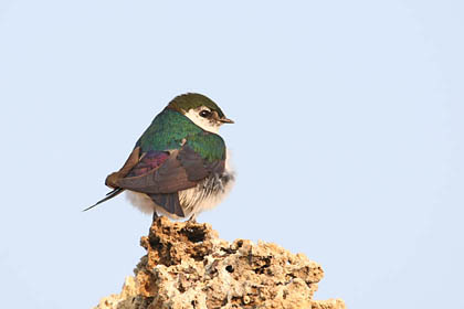 Violet-green Swallow Picture @ Kiwifoto.com