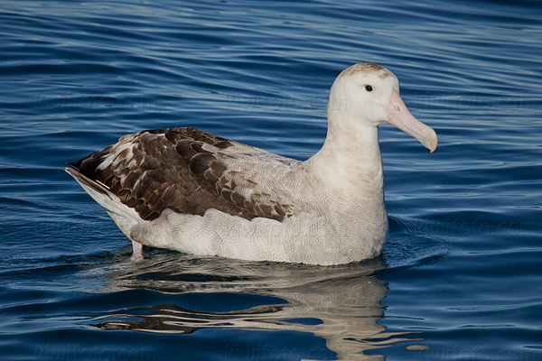 Wandering Albatross Photo @ Kiwifoto.com