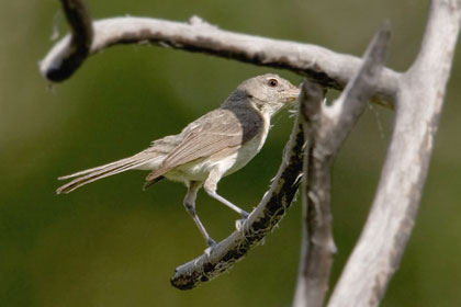 Warbling Vireo Photo @ Kiwifoto.com