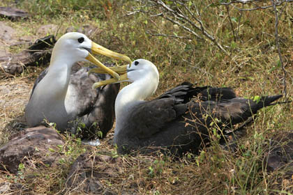 Waved Albatross Photo @ Kiwifoto.com