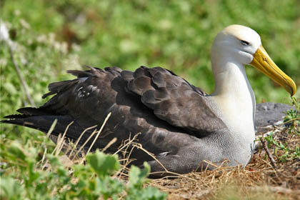 Waved Albatross Image @ Kiwifoto.com