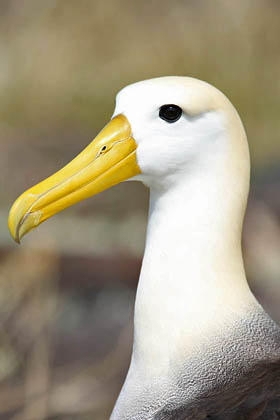 Waved Albatross Picture @ Kiwifoto.com