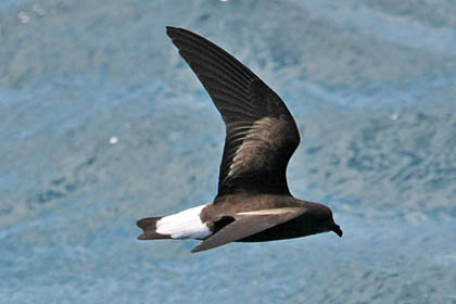 Wedge-rumped Storm-Petrel Image