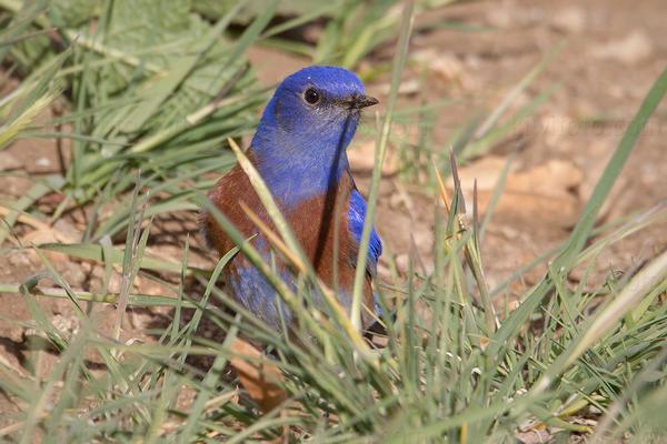 Western Bluebird @ Oak Glen, CA