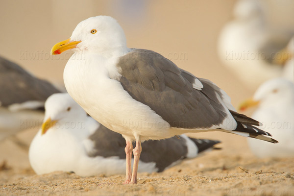 Western Gull @ Hermosa Beach, CA