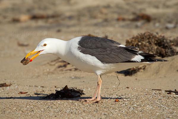 Western Gull @ Playa del Rey (Dockweiler State Beach), CA