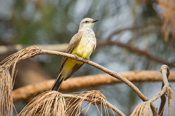Western Kingbird @ Santa Paula (Teague Park), CA