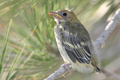 Western Tanager (fledgling)