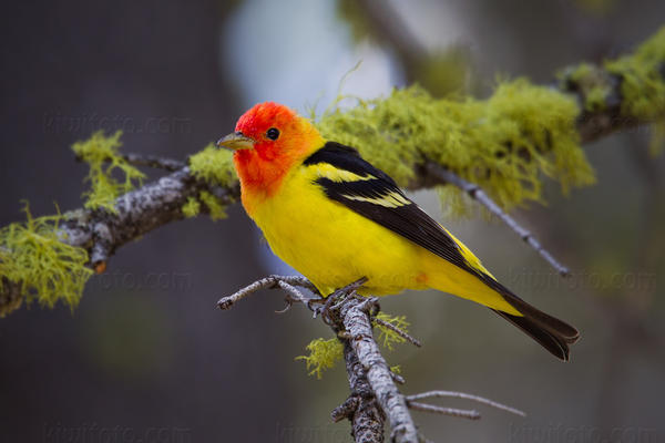 Western Tanager Picture @ Kiwifoto.com