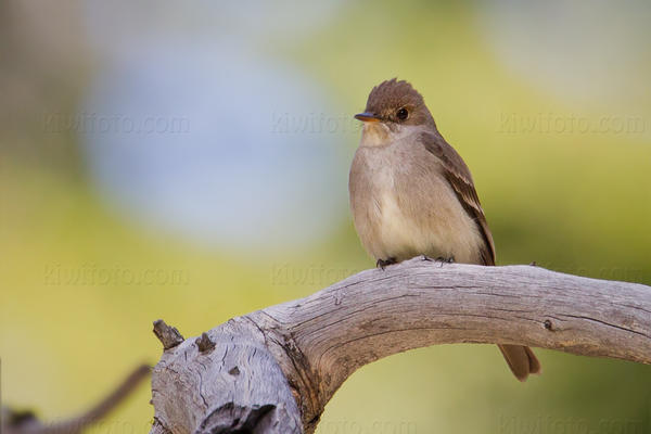 Western Wood-Pewee Photo @ Kiwifoto.com