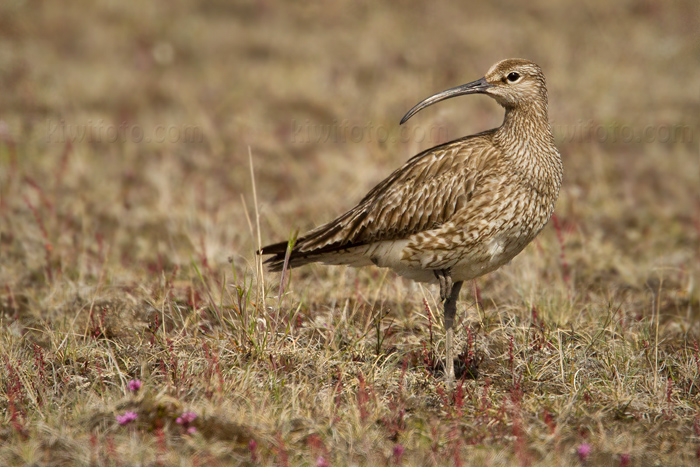 Whimbrel Photo @ Kiwifoto.com