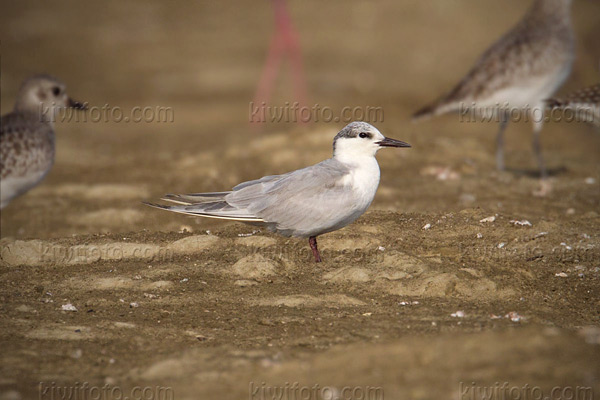 Whiskered Tern Picture @ Kiwifoto.com