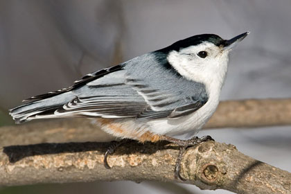 White-breasted Nuthatch Picture @ Kiwifoto.com