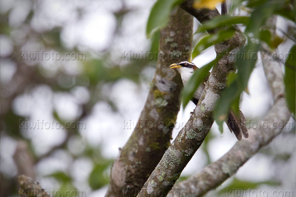White-browed Scimitar-Babbler Photo @ Kiwifoto.com
